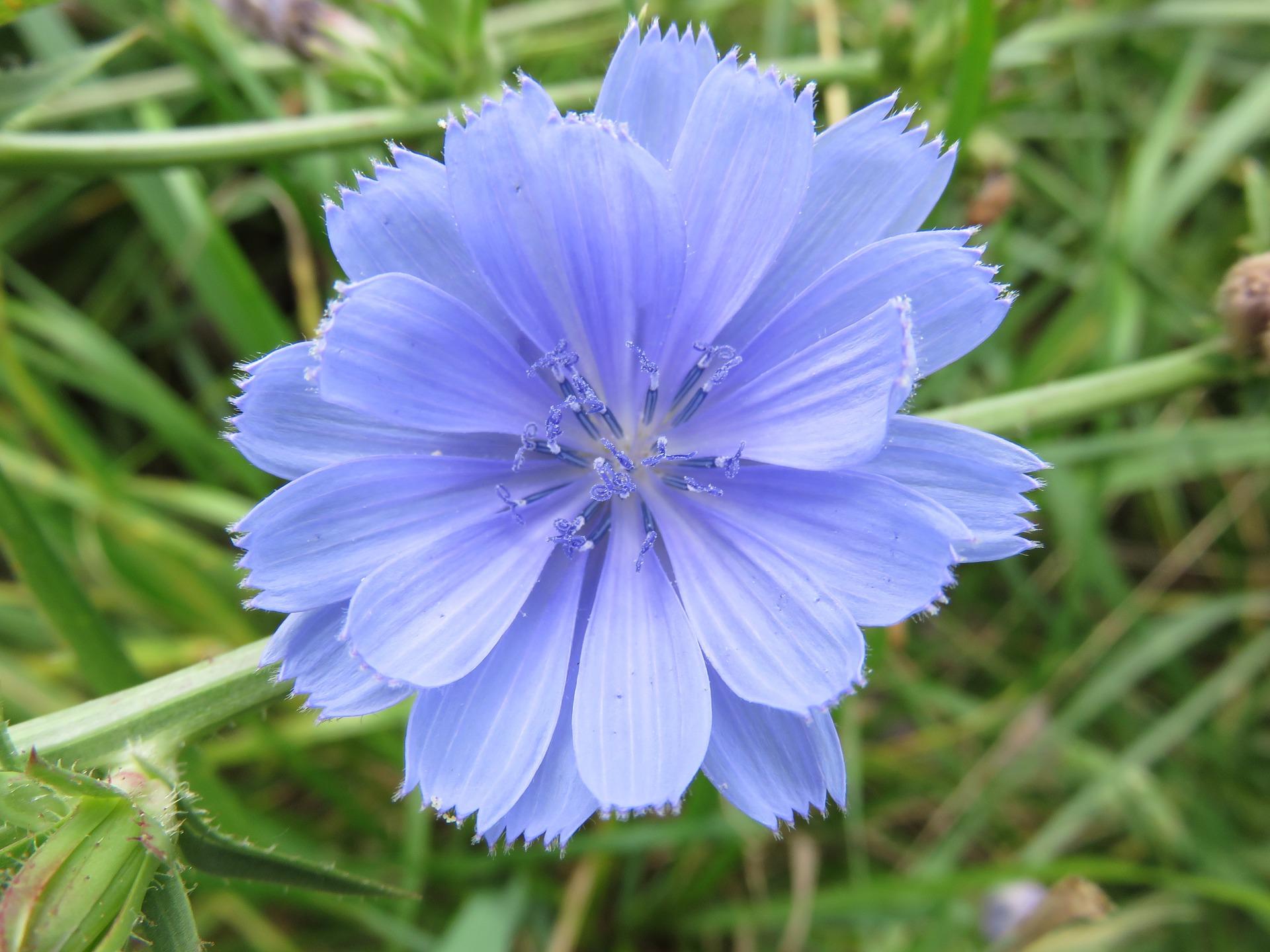 Chicory,