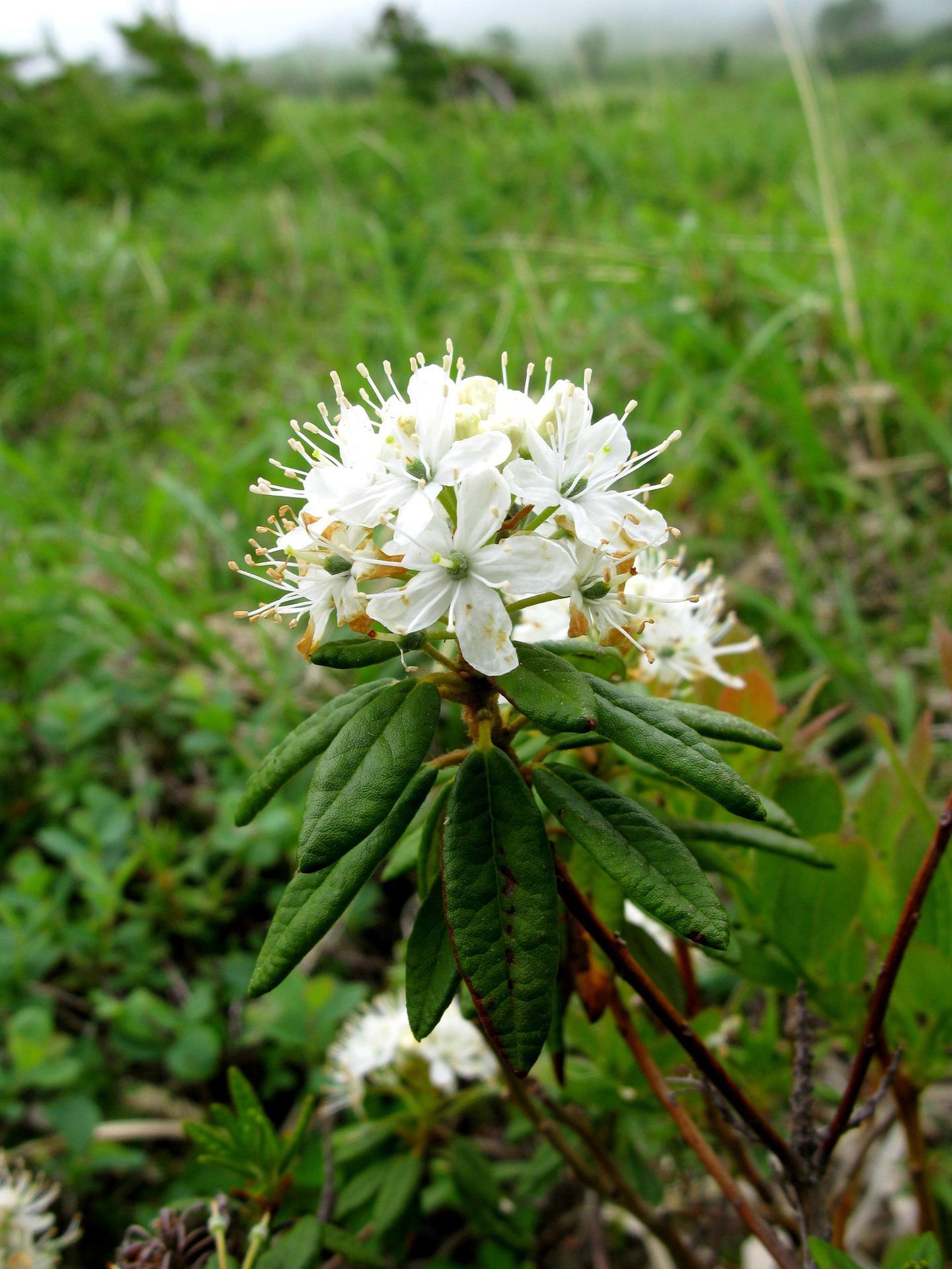 백산차, Ledum palustre L. var. decumbens Aiton