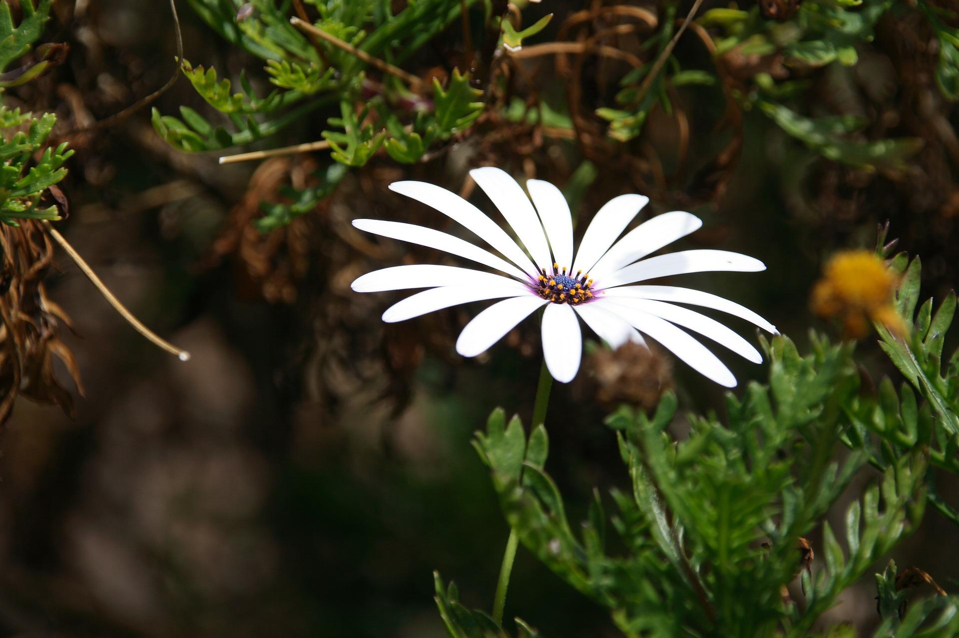 오스테오스펄멈, Osteospermum ecklonis