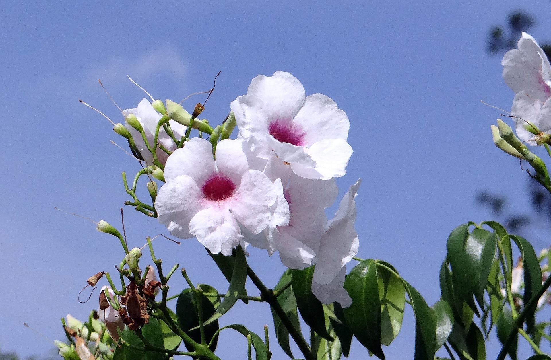 팬도르자스민, Pandorea jasminoides