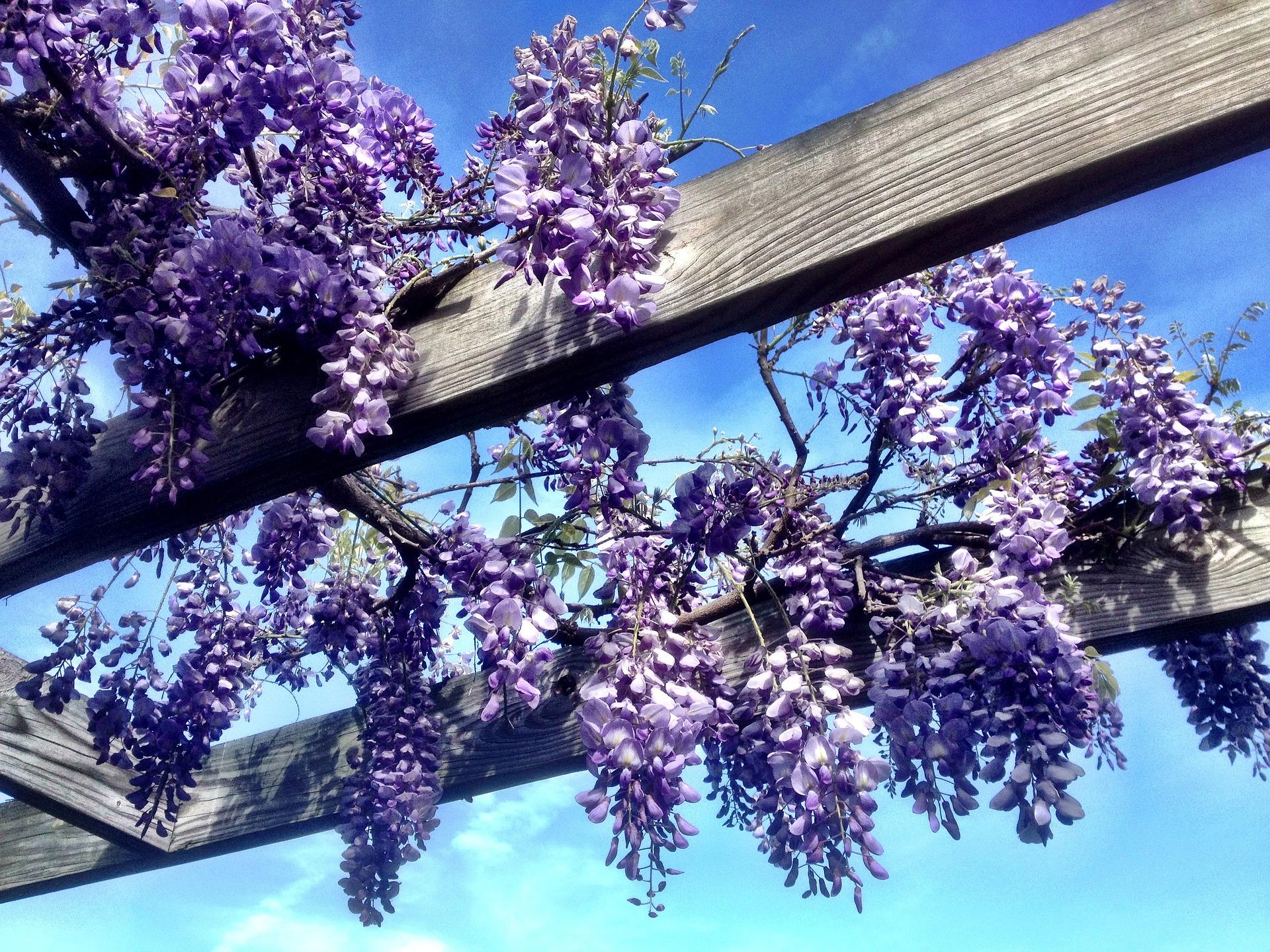 등나무, Wisteria floribunda (Willd.) DC. for. floribunda