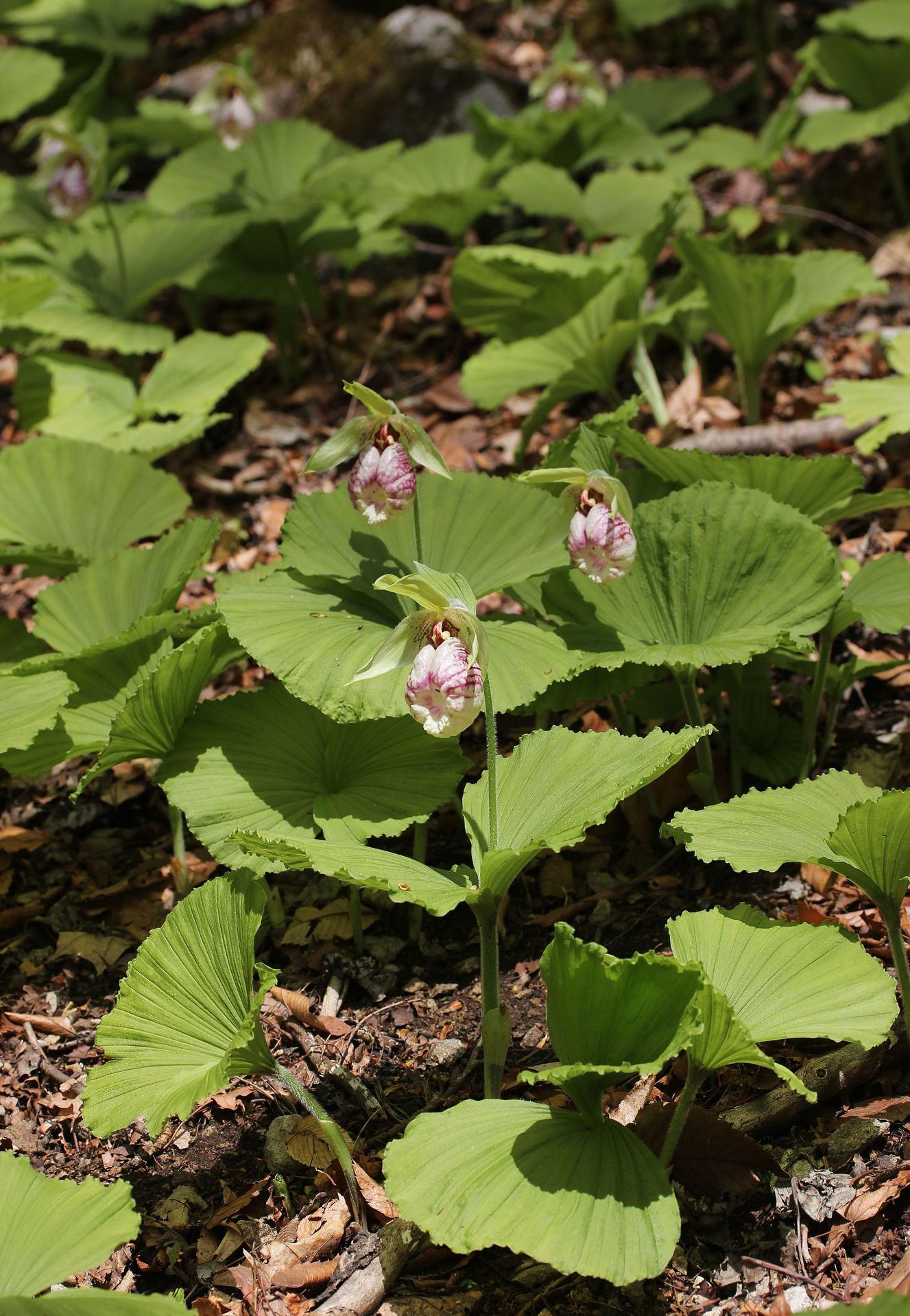 광릉요강꽃, Cypripedium japonicum
