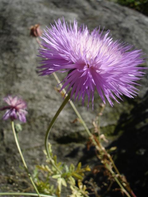 향수레국화, Centaurea Moschata
