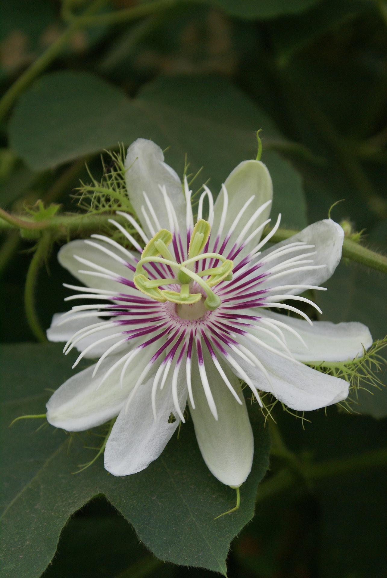 니겔라 - Passiflora foetida