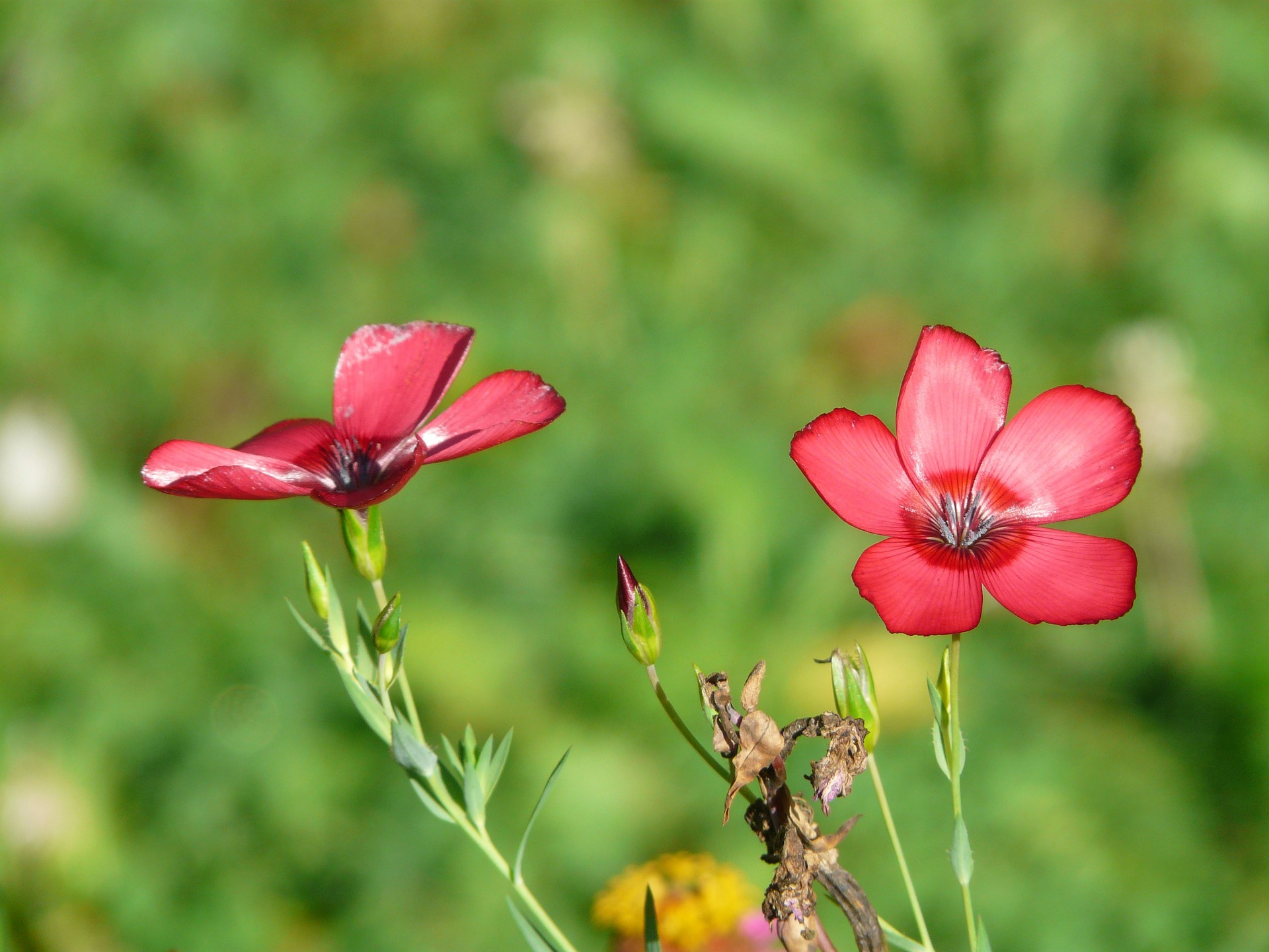 꽃아마, Linum grandiflorum
