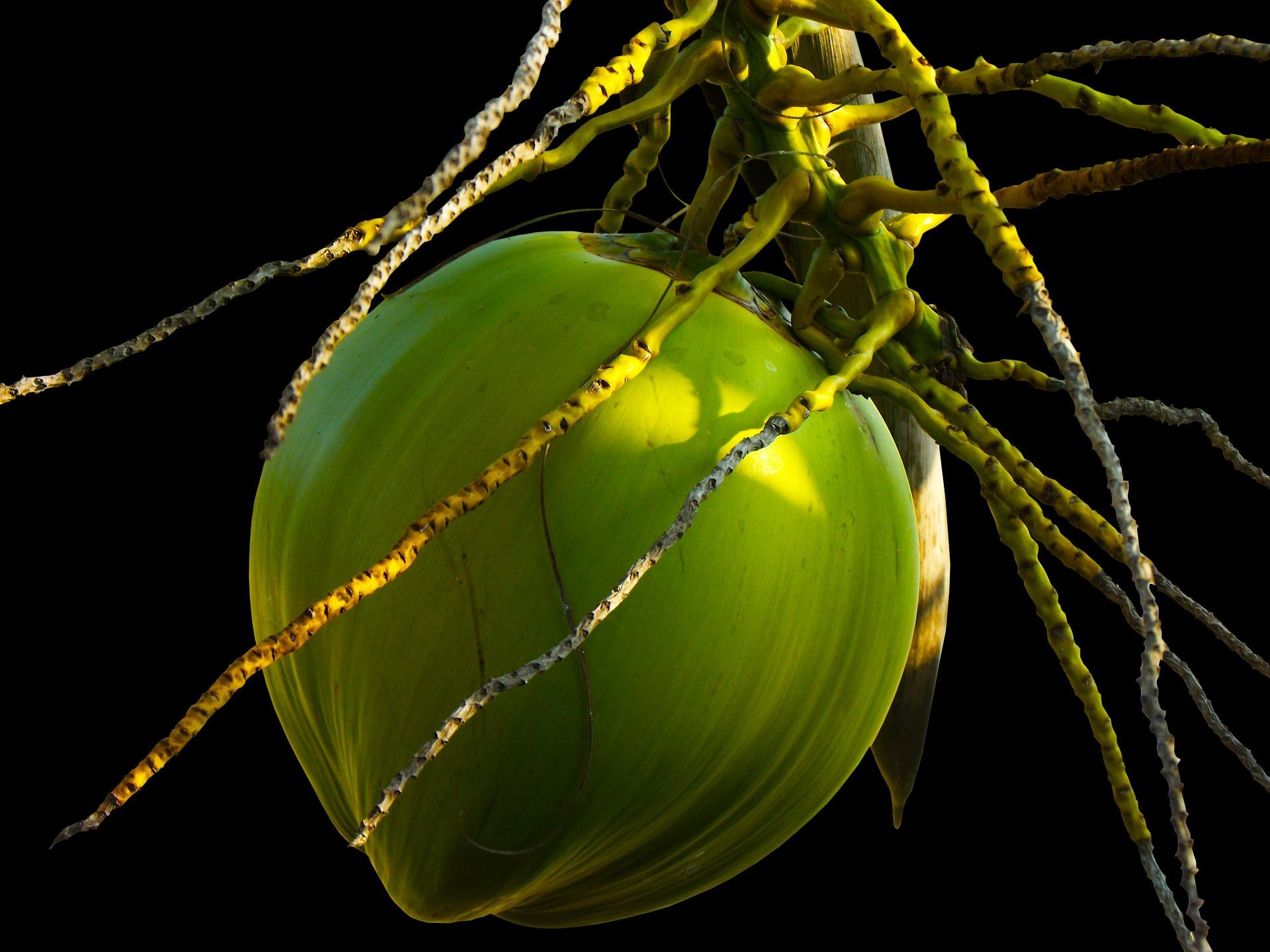 코코넛야자, Cocos nucilera L.