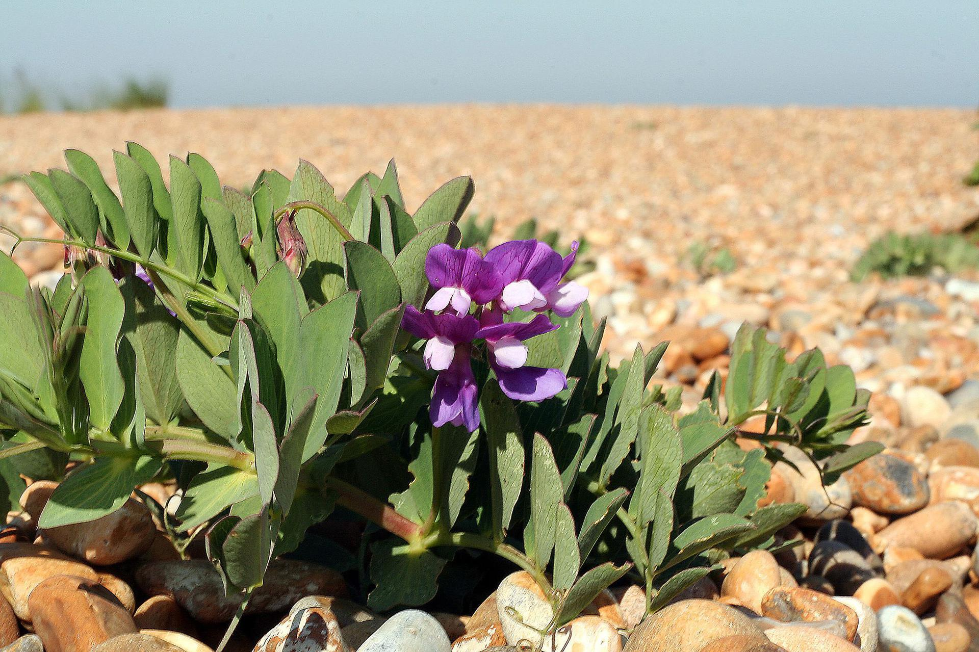 갯완두, Lathyrus japonicus Willd.