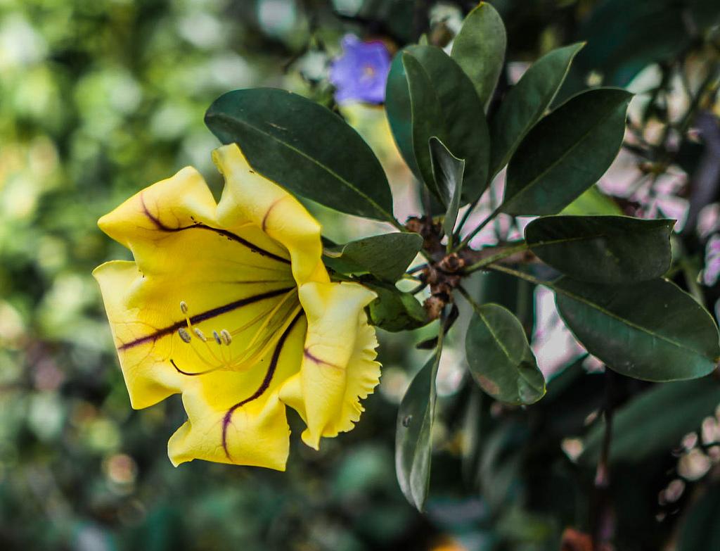 황금종덩굴, Solandra maxima
