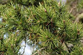 방크스소나무