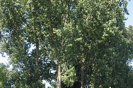 http://www.treeinfo.net/data/file/ti_gallery_free/thumb-2109149503_F7AwLSPe_0a7701f293e28d3efbcebd211fffeac509c20fb0_270x180.jpg