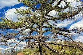 리기다소나무
