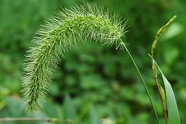 가을강아지풀