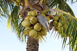 코코넛야자