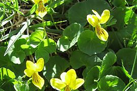 장백제비꽃