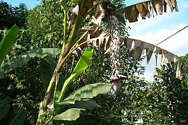 발비시아나 바나나