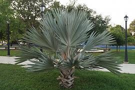 멕시코블루야자