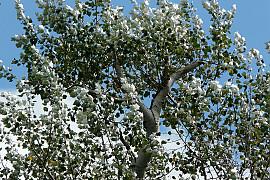 http://www.treeinfo.net/data/file/ti_gallery_free/thumb-3696238661_kMoGqY4L_5855125aaac2e35b1220728fbb7b71b72e7083cd_270x180.jpg