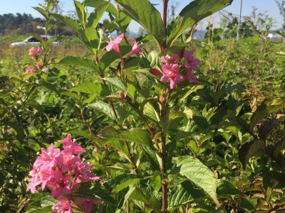붉은병꽃나무 사진 - Weigela florida (Bunge) A. DC. Photos