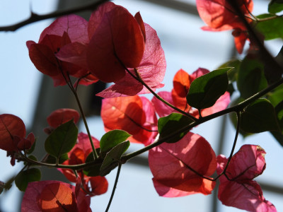 부겐베리아 사진 - Bougainvillea glabra Photos