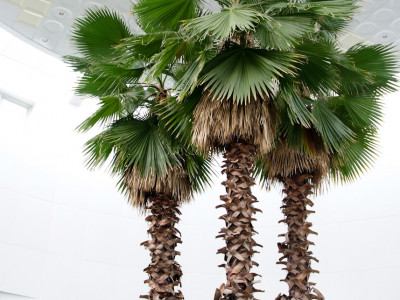 워싱턴야자 사진 - Washingtonia filifera Photos