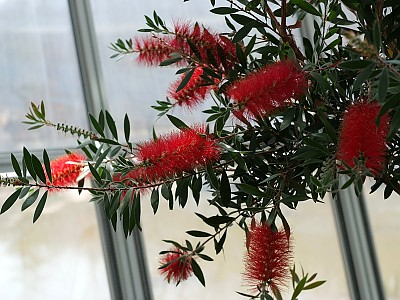 병솔나무 사진 - Callistemon lanceolatus Photos
