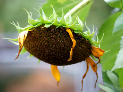 해바라기 사진 - Helianthus annuus Photos