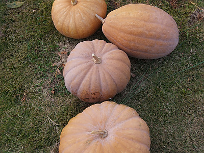 호박 사진 - Cucurbita moschata Duchesne Photos