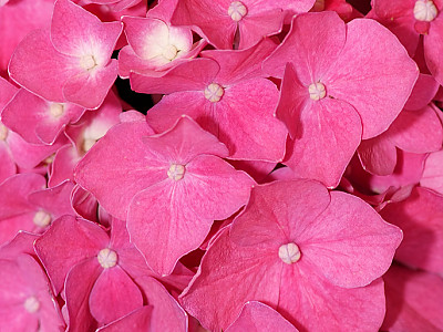 수국 사진 - Hydrangea macrophylla (Thunb.) Ser. for. otaksa (Siebold & Zucc.) E. H. Wilson Photos