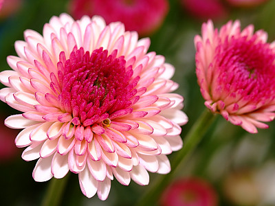 국화 사진 - Chrysanthemum morifolium Ramat. Photos