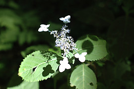 산수국 - Hydrangea serrata for. acuminata