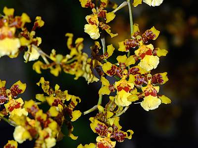 온시디움 사진 - Oncidium spp. Photos