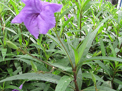 루엘리아 사진 - Ruellia brittoniana Photos