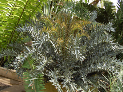호리더스 소철 사진 - Encephalartos horridus   Photos