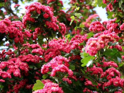서양산사나무 사진 - Crataegus laevigata \'Paul\'s scarlet\' Photos