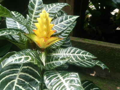 아펠란드라 사진 - Aphelandra squarrosa Photos