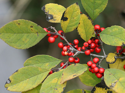 낙상홍 사진 - Ilex serrata Thunb. Photos