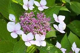 탐라산수국 - Hydrangea serrata Ser. for. fertilis Nakai