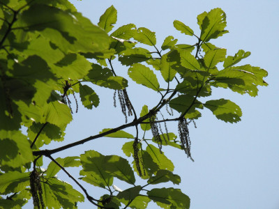 갈참나무 사진 - Quercus aliena Blume Photos