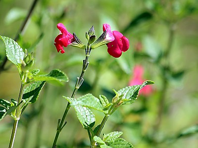 핫립세이지 사진 - Salvia Microphylla Photos