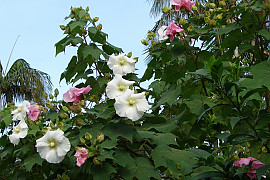 코튼로즈 - Hibiscus mutabilis 'Cotton Rose'